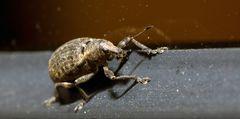 Rüsselkäfer (II)