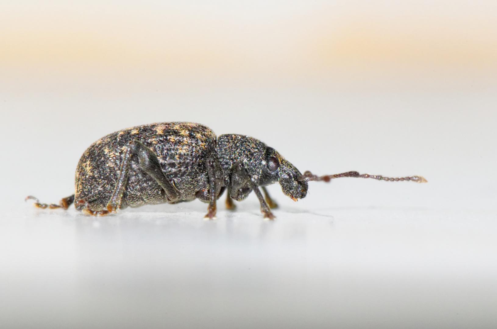 Rüsselkäfer im Badezimmer Foto & Bild | tiere, wildlife ...