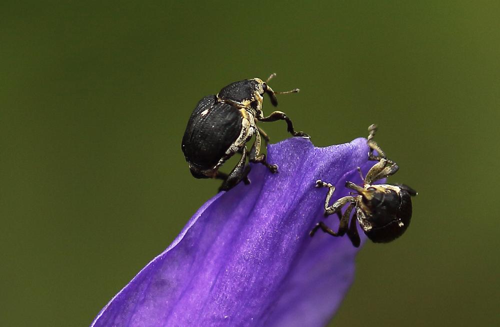 Rüsselkäfer Mononychus punctumalbum