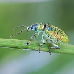 Rüsselkäfer (Phyllobius maculicornis ?)
