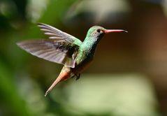 Rufous-tailed Hummingbird/Braunschwanzamazilie/Amazilia tzacatl