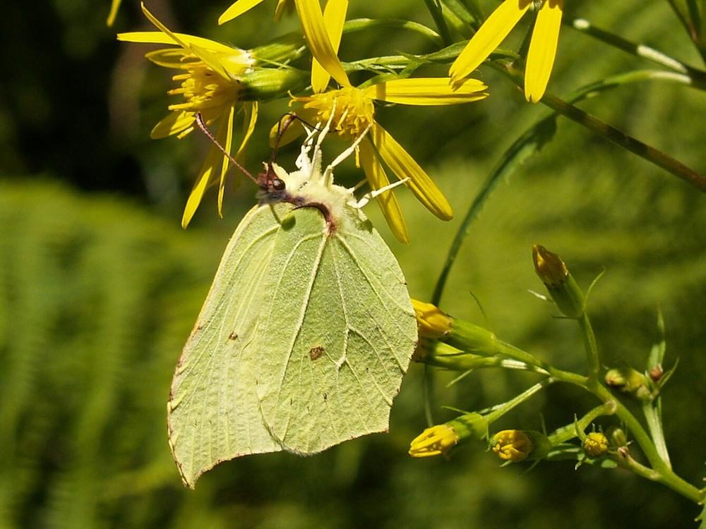 Ruhe - Gonepteryx rhamni