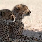 Ruhende Jäger - Kgalagadi Nationalpark