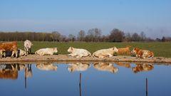 Ruhende Kühe