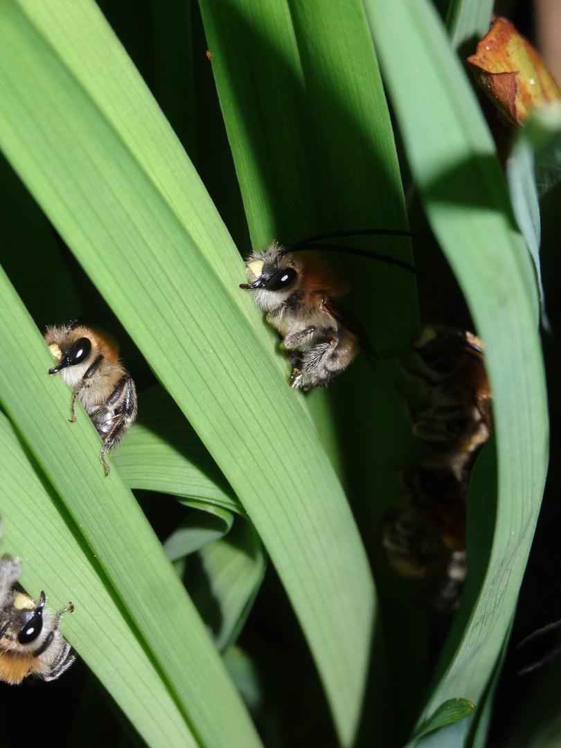 ruhende Langhornbienen