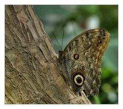 Ruhender Schmetterling