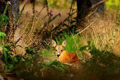 Ruhendes Stück Rehwild in seinem natürlichen Lebensraum