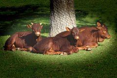 Ruhepause (Junge Watussirinder unterm Baum) -Zoo Neuwied-