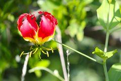 Ruhmeskrone (Gloriosa superba)