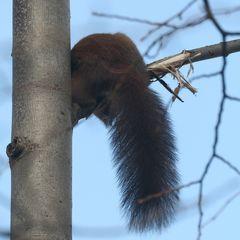 Rumänisches Hörnchen