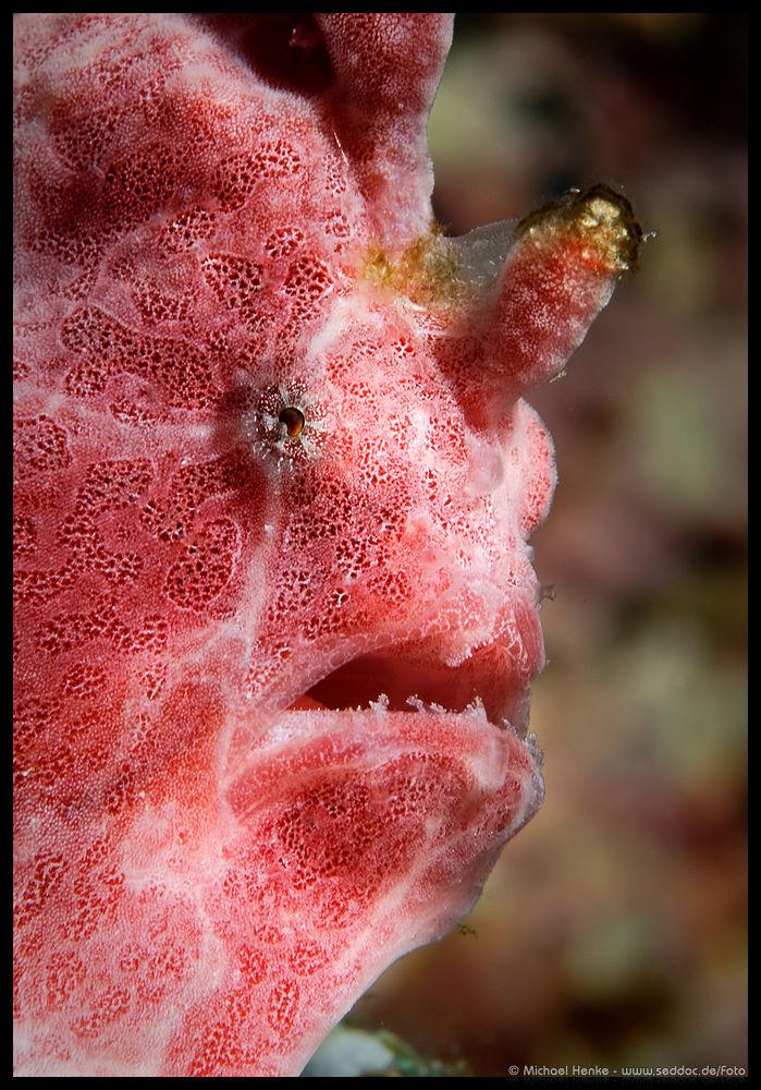 Rundflecken Anglerfisch - Antennarius pictus