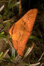 Rundkopf-Fledermausfisch - Jungtier
