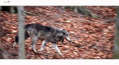-Running Wolf 2-