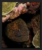 Rußkopfmuräne -Yellow edged moray-