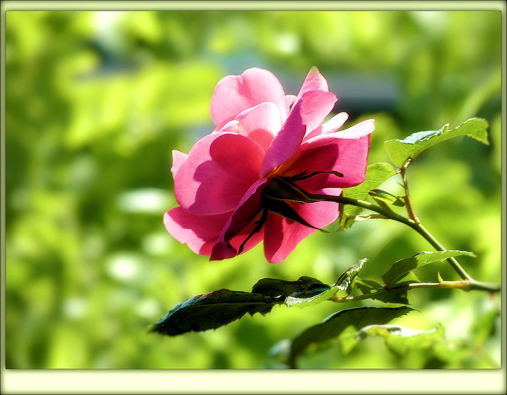 Rustic Rose in mid-July