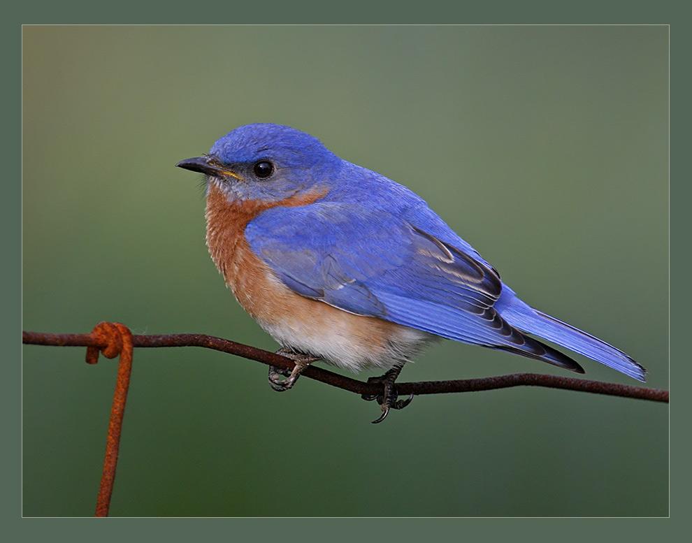 Rusty the Bluebird... (reload)