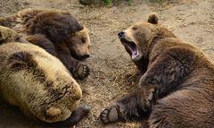 Bären im Wildpark