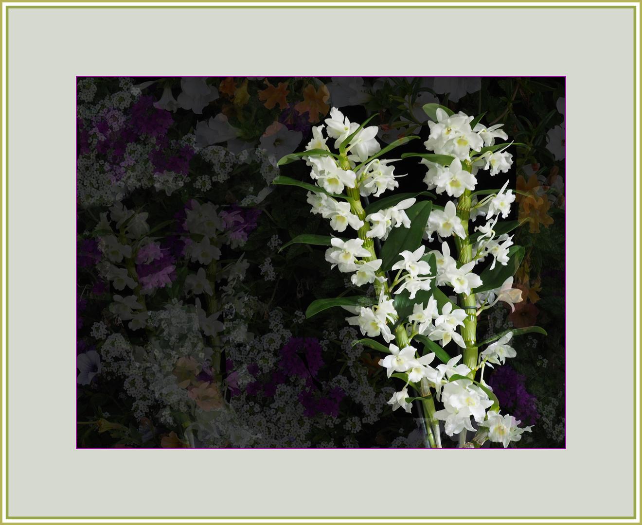 Rêve d'orchidée dendrobium nobile