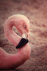S wie Flamingo
