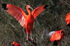 Sa majesté l'ibis rouge