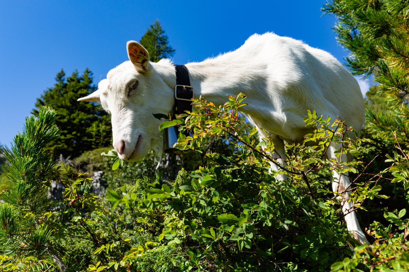 Saanengeiss im Arvenwald