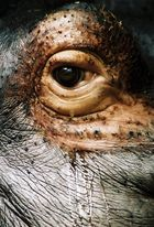 Sad hippo`s eye