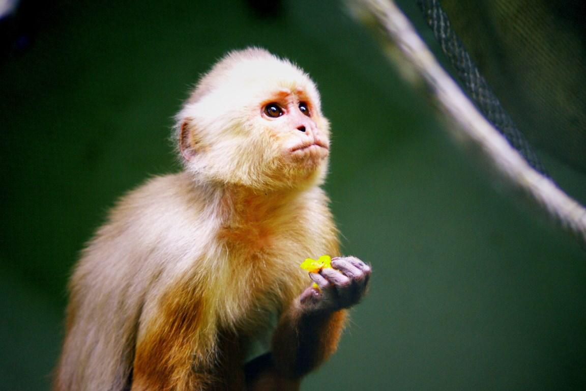 Sad little capuchino