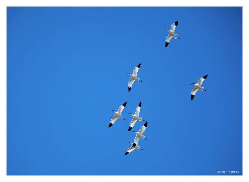 Säbelschnäbler am blauen Himmel über Friedrichskoog 2