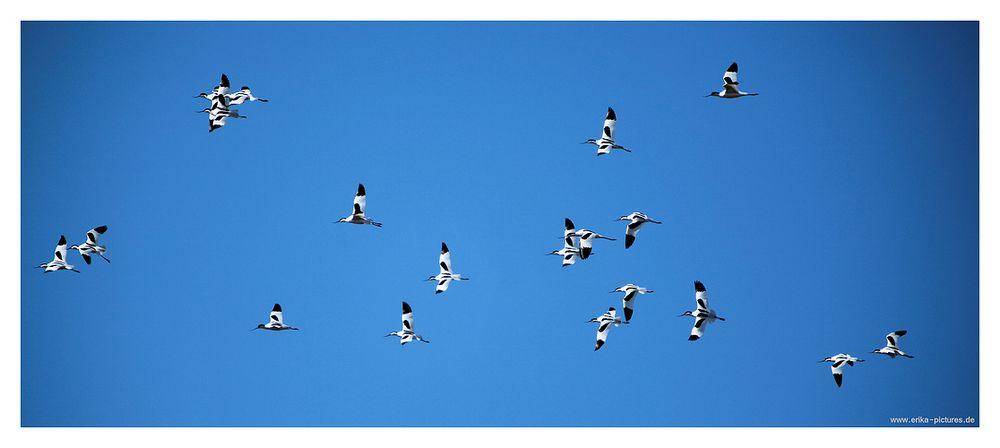 Säbelschnäbler am blauen Himmel über Friedrichskoog