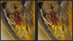 Sächsische Wespe [3D]