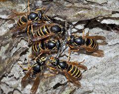 Sächsische Wespen (Dolichovespula saxonica) auf zerfetztem Nest. - Guêpes inspectent leur nid abîmé.