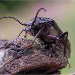 sägebock (prionus coriarius)....