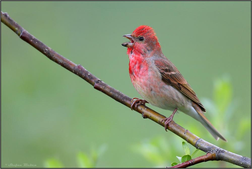 Sänger in Rot