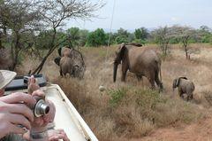 Safari Impression: Elefantengruppe zieht ganz nah vorbei
