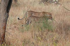 Safari Impression: Gleich zwei auf einen Streich