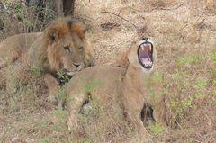 Safari Impression: Gut gebrüllt, Löwe