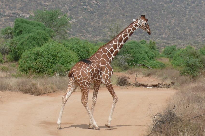 Safari Impression: Gut gezeichnet
