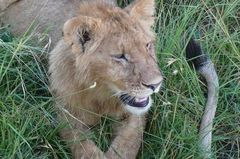 Safari Impression: Junger Löwe