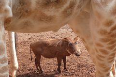 Safari Impression: Ne, was sind Giraffen doch groß