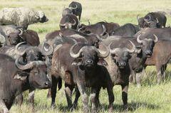 Safari-Impressionen: Büffelherde in der Massai Mara