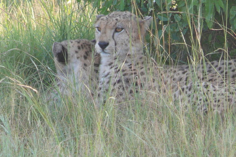 Safari-Impressionen: Gepardenpaar in der Massai Mara
