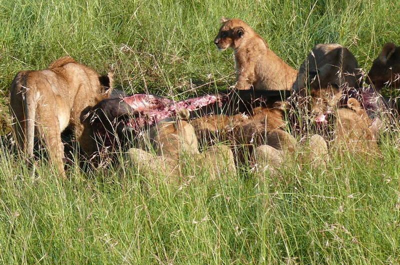 Safari-Impressionen: Löwengruppe nach Riss eines Büffels (1)