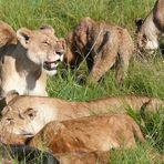 Safari-Impressionen: Löwengruppe nach Riss eines Büffels (2)