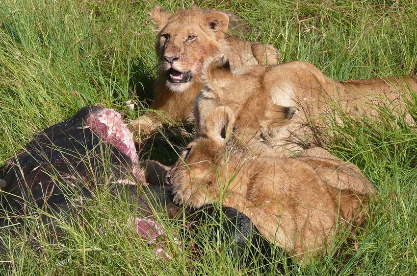 Safari-Impressionen: Löwengruppe nach Riss eines Büffels (3)