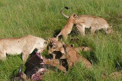 Safari-Impressionen: Löwengruppe nach Riss eines Büffels (4)