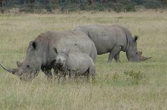 Safari-Impressionen: Nashorn-Familie