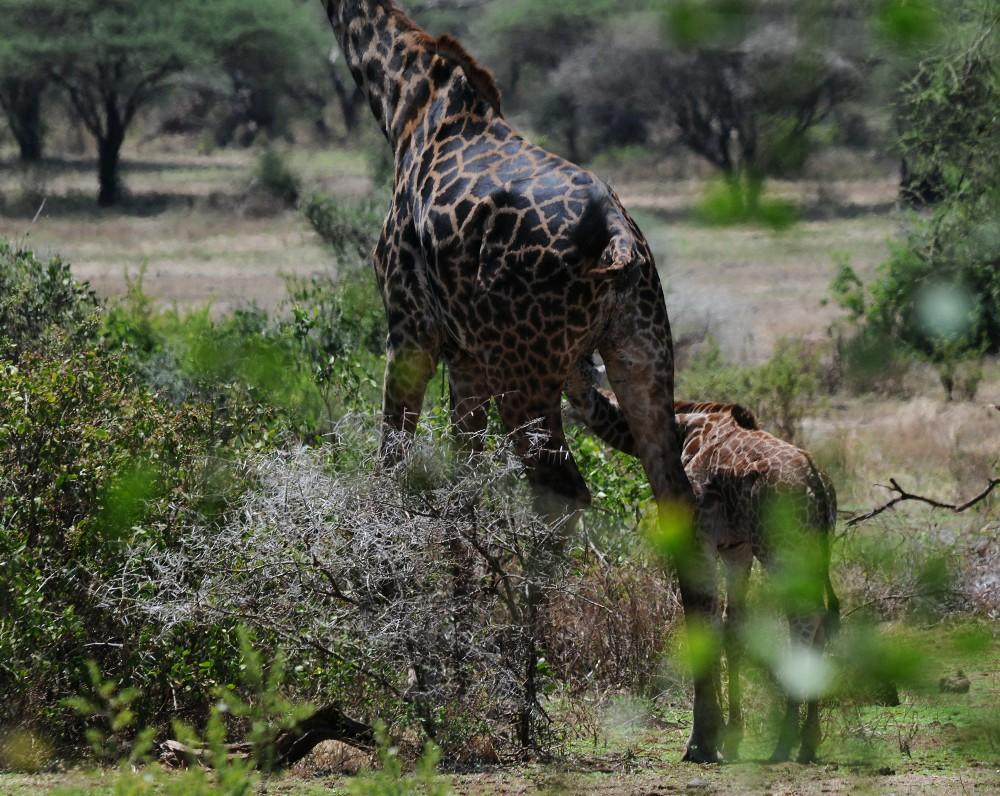 Safari VII