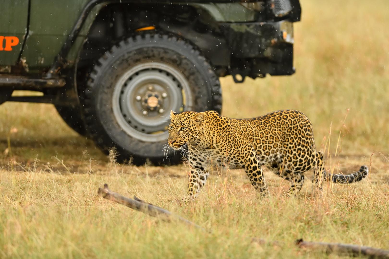 Safariwagen als Deckung