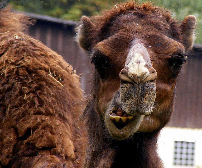 Sag noch einmal Kamel zu mir....