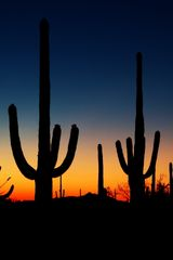 Saguaro Kakteen im Sonnenuntergang